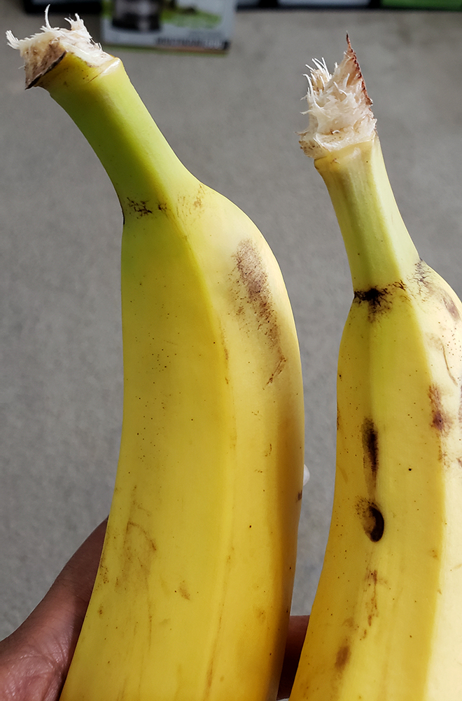 How to draw a banana_three-quarter view close up reference