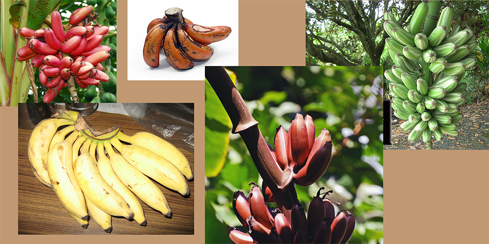 how to draw a banana_Miscellaneous varieties reference board