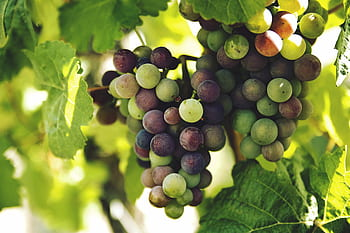 Basic Forms in Nature-Grapes