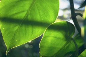 light transmission on a leaf subsurface scattering