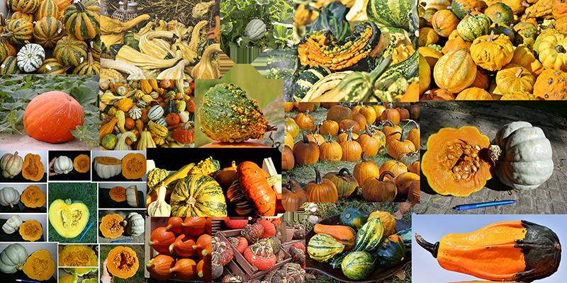 How to draw a pumpkin_Cucurbita maxima
