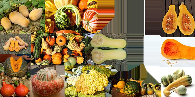 How to draw a pumpkin_Cucurbita moschata, squash or pumpkin