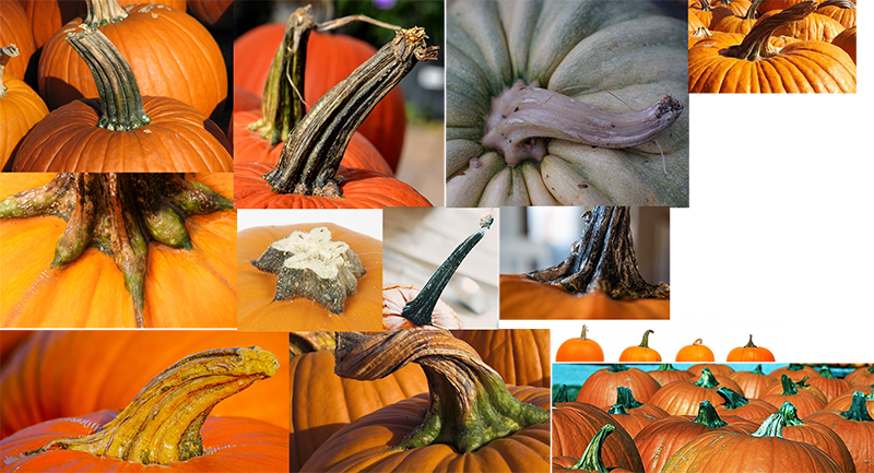 How to draw a pumpkin_Pumpkin_squash stems, plant