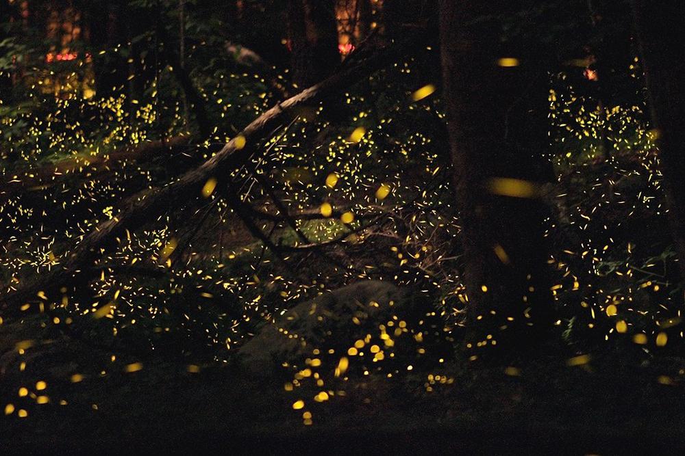 reflected light - bioluminescence fireflies
